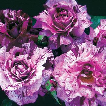 purple tiger roses
