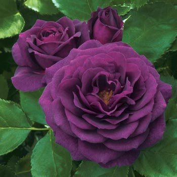 dark purple rose